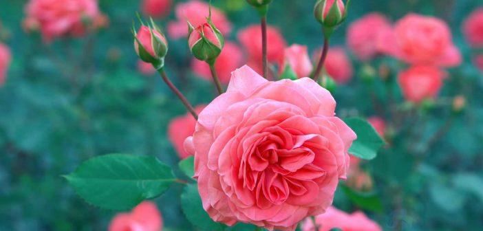 Số lượng bông hồng và ý nghĩa