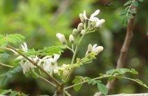 Hoa chùm ngây giàu dinh dưỡng, có thể nấu canh hoặc phơi khô làm trà uống.