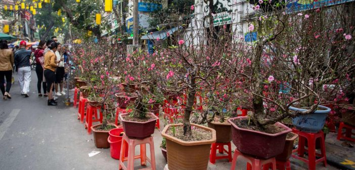 Peach blossom in Hang Luoc flowers market