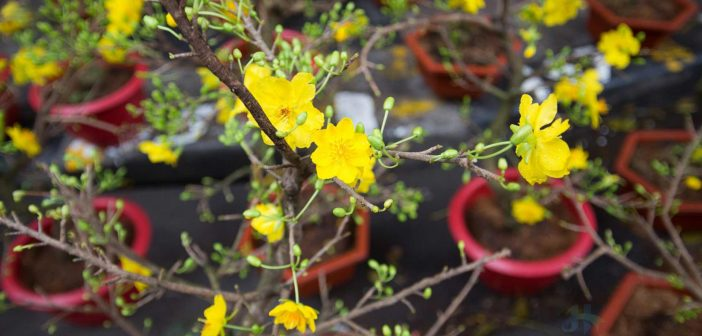 Closeup at Yellow apricot flowers in Tet flowers market, Hang Luoc street