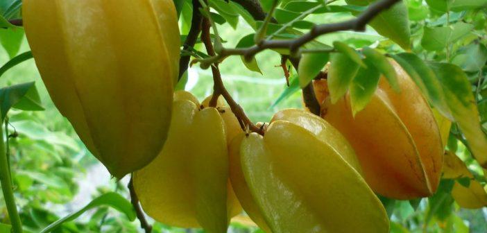 Quê hương Việt Nam gắn liền với hình ảnh chùm khế ngọt