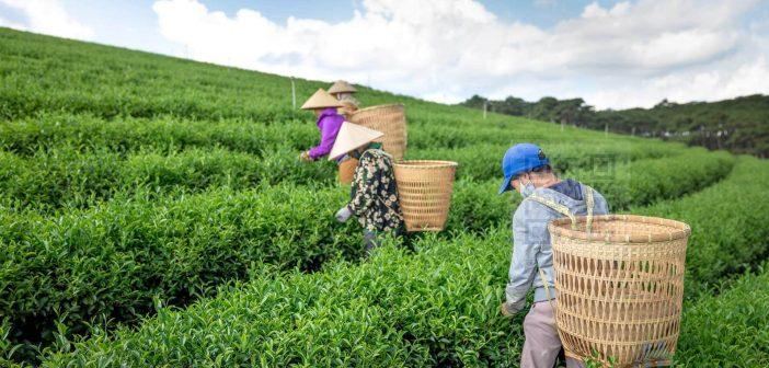 Workers harvesting leaves on tea plantation