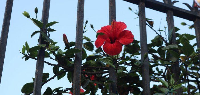 Hoa Dâm Bụt thường được trồng làm cảnh, hàng rào