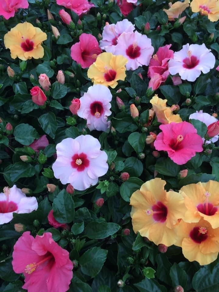 Hoa dâm bụt với nhiều loại và nhiều màu sắc khác nhau