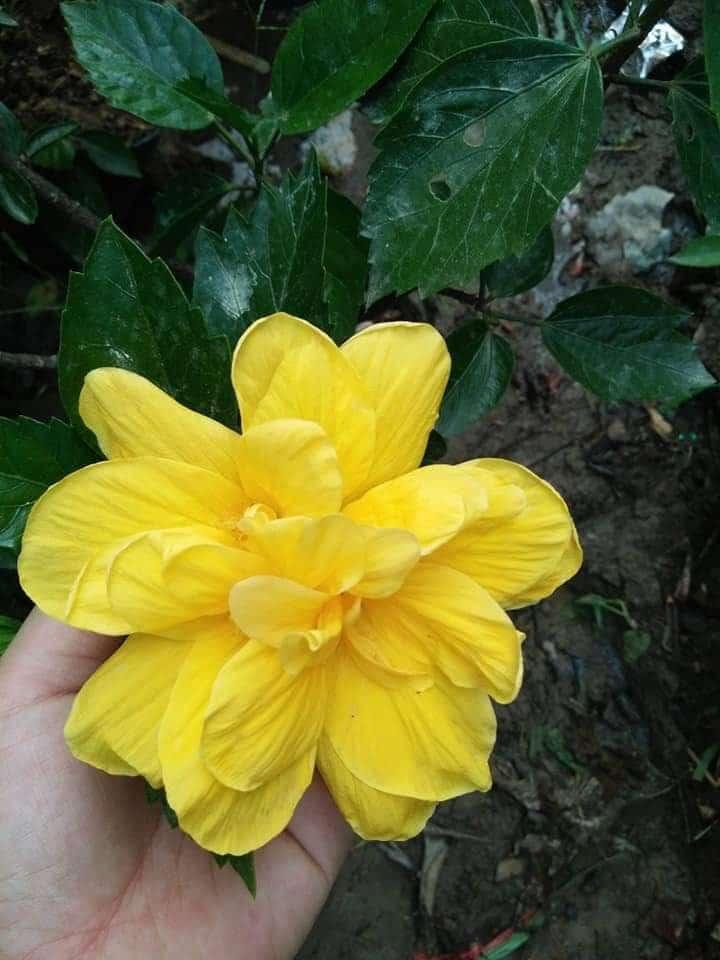 Hoa Dâng Bụt màu vàng