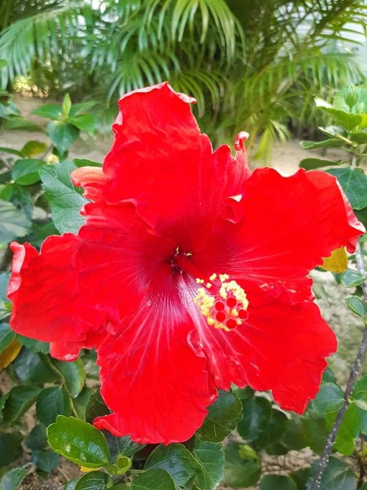 Bông Bụp màu đỏ