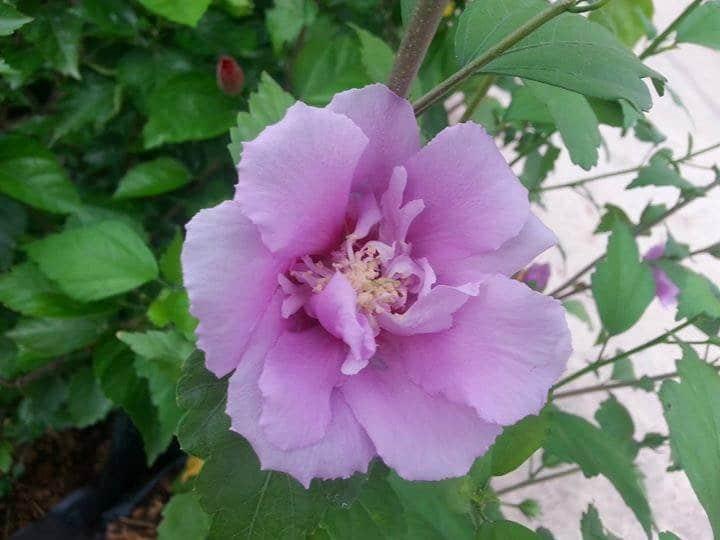 Hoa râm bụt màu tím