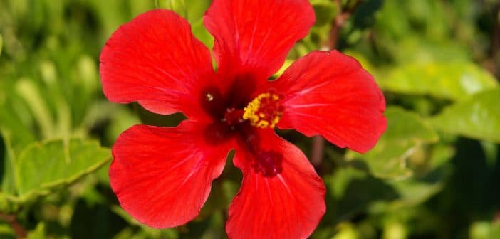 Hoa Dâm Bụt là quốc hoa của Malaysia