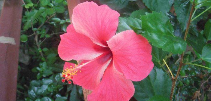 Hoa Dâm Bụt có tác dụng làm đẹp da và trị mụn