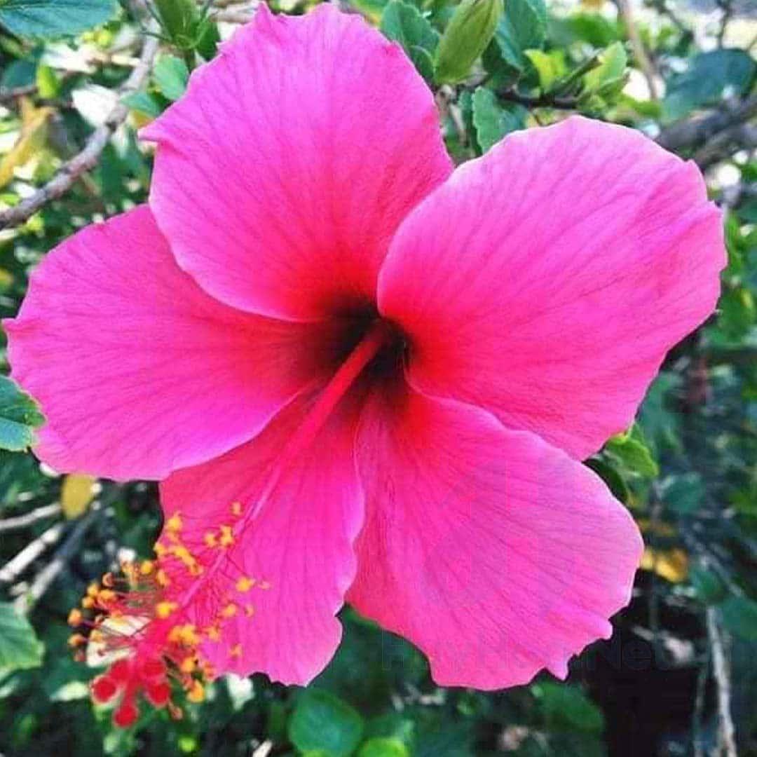 Hoa và lá dâm bụt có tác dụng trị mụn nhọt cực kỳ hiệu quả